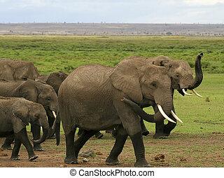 herde, Kenianer, Elefanten