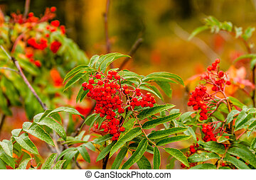 Fall in Steamboat Springs Colorado - Bright red Smooth Sumac...