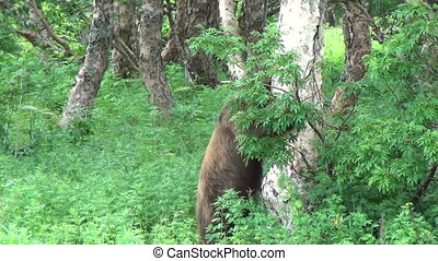 Wild brown bear in the forest. summer