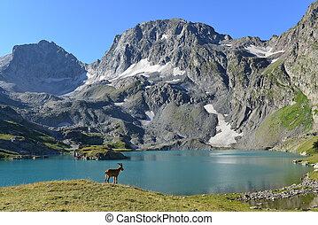 The West Caucasian tur Capra caucasica