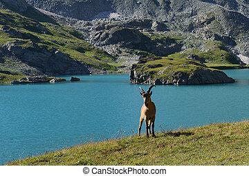 The West Caucasian tur (Capra caucasica)