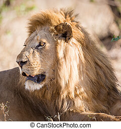 Big male lion rests in Africa - Large lion laying under a...