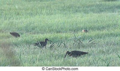 Eurasian curlew - Numenius arquata