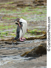 Yellow-eyed penguin - Endagered yellow-eyed penguin...