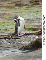 Yellow-eyed penguin - Endagered yellow-eyed penguin...