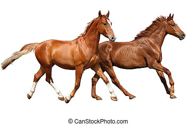 Two beautiful horses running isolated on white background