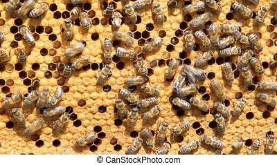 swarm of bees produce honey