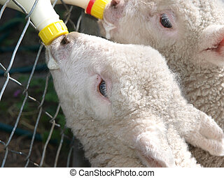 Bottle Time - Close Up of Two Lambs being Bottle Fed
