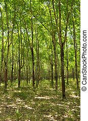 rubber plantation - a rubber plantation