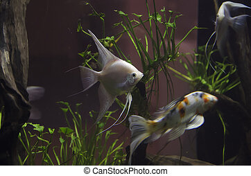 Fish in aquarium - a Fish in aquarium