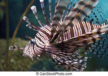 lion fish - a lion fish