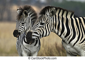 Zebra Mare and Foal - 3 Month old Burchell Zebra Foal with...