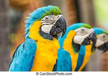 Scarlet Macaw  - Scarlet Macaw