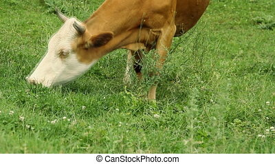 Cows grazing on pasture and eating green grass