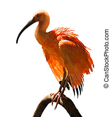 Ibis - Scarlet Ibis Eudocimus ruber on white background