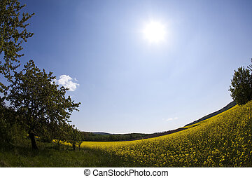 Canola   - Yellow canola fields in summer and nature.