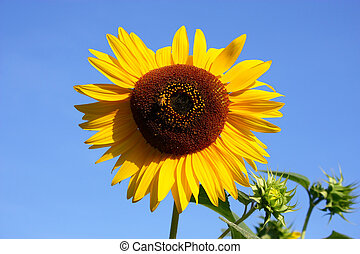Sunflower in front of the sky