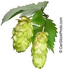 Hop (Humulus lupulus) - colored illustration