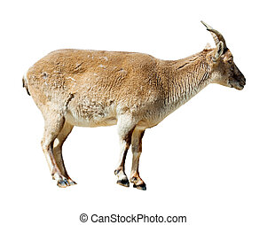 Standing barbary sheep over white background - Standing...