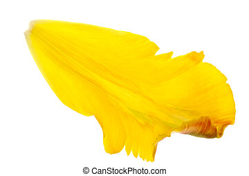 yellow tulip petals