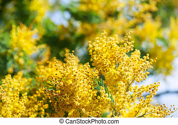Acacia dealbata branches in spring nature