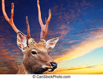 Sika deer against sunset sky - Sika deer (Cervus nippon)...