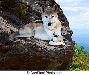 wolf lays on rock in wildness area