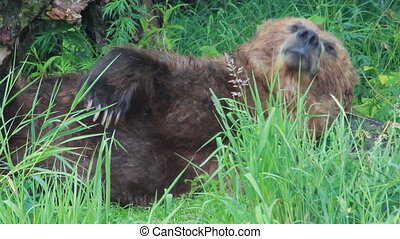 bear sleeping - Grizzly brown bear sleeping Summer