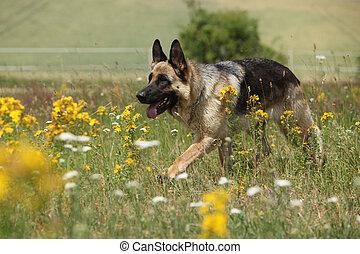 Nice german shepherd dog running on flowering field