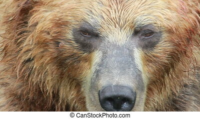 Brown Bear, close up Summer