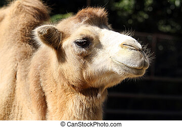 Portrait of a camel close up - Portrait of a camel in the...