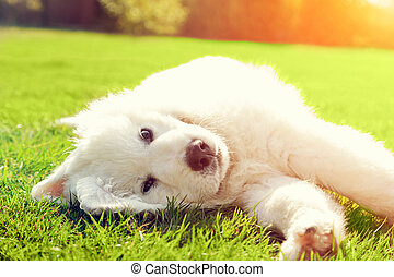 Cute white puppy dog lying on grass. Polish Tatra Sheepdog,...