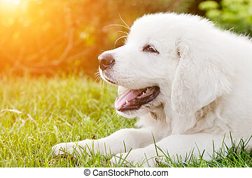 Cute white puppy dog lying on grass Polish Tatra Sheepdog,...