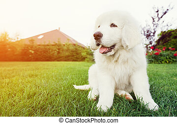 Cute white puppy dog sitting on grass Polish Tatra Sheepdog,...