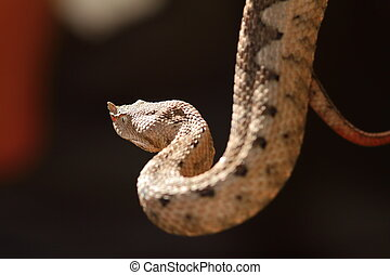 beautiful horned viper, adult female Vipera ammodytes