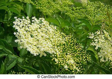 elder flower 03
