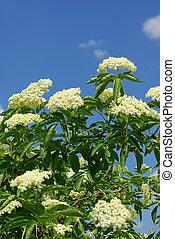 elder flower 07