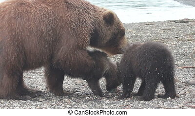 Brown bear and cub. Summer