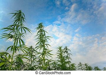Hemp shot against the sky - Hemp plants with blue sky and...