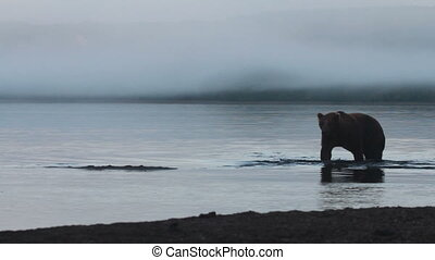 Bear fishing - Grizzly Bear fishing in coastal waters