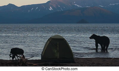 Bear in  campsite - Grizzly Bear in a campsite