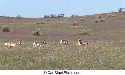 Pronghorn Antelope Herd in Rut - a herd of pronghorn...