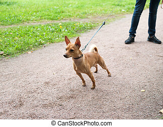 Little red dog on leash on background of garden path