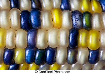 Flint Corn Color - Flint corn, also called Indian or calico...