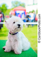 west highland terrier - west highland white terrier on an...