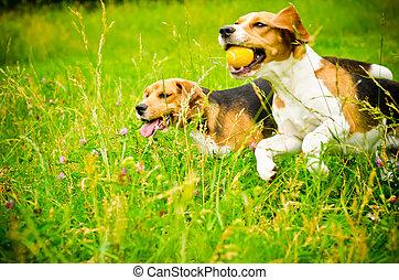dois, beagle