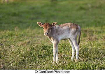 Little calf standing alone in green field