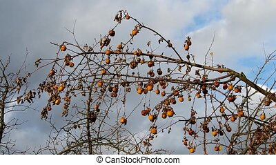 Dried apples on the tree