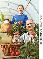Man and woman picking tomatoes in greenhouse