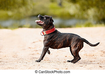 Staffordshire bull terrier. Bull terrier in a red collar....